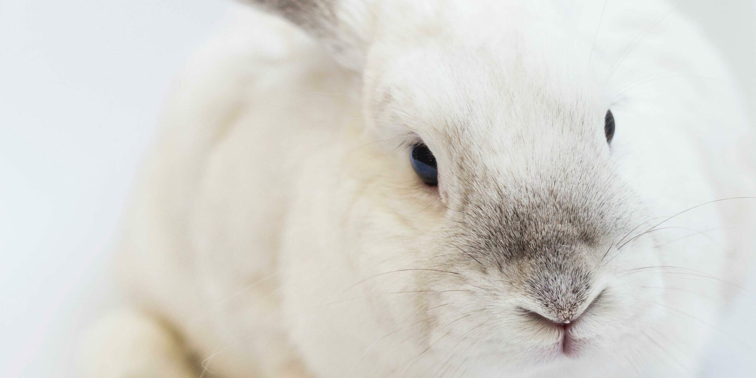 white rabbit feature image