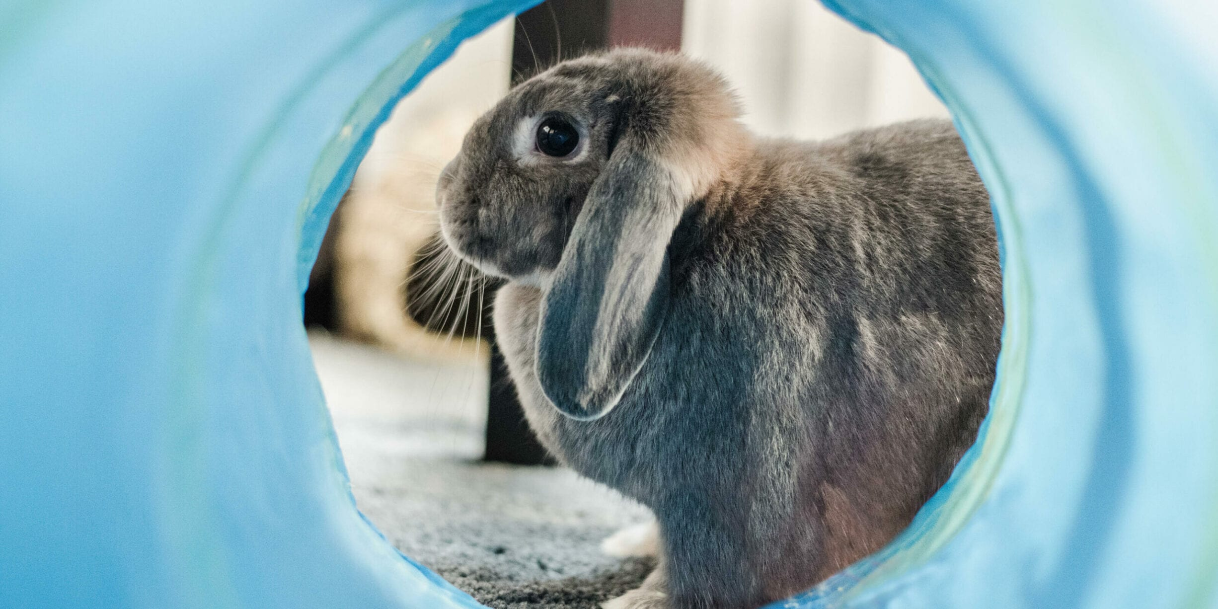 lab testing rabbit