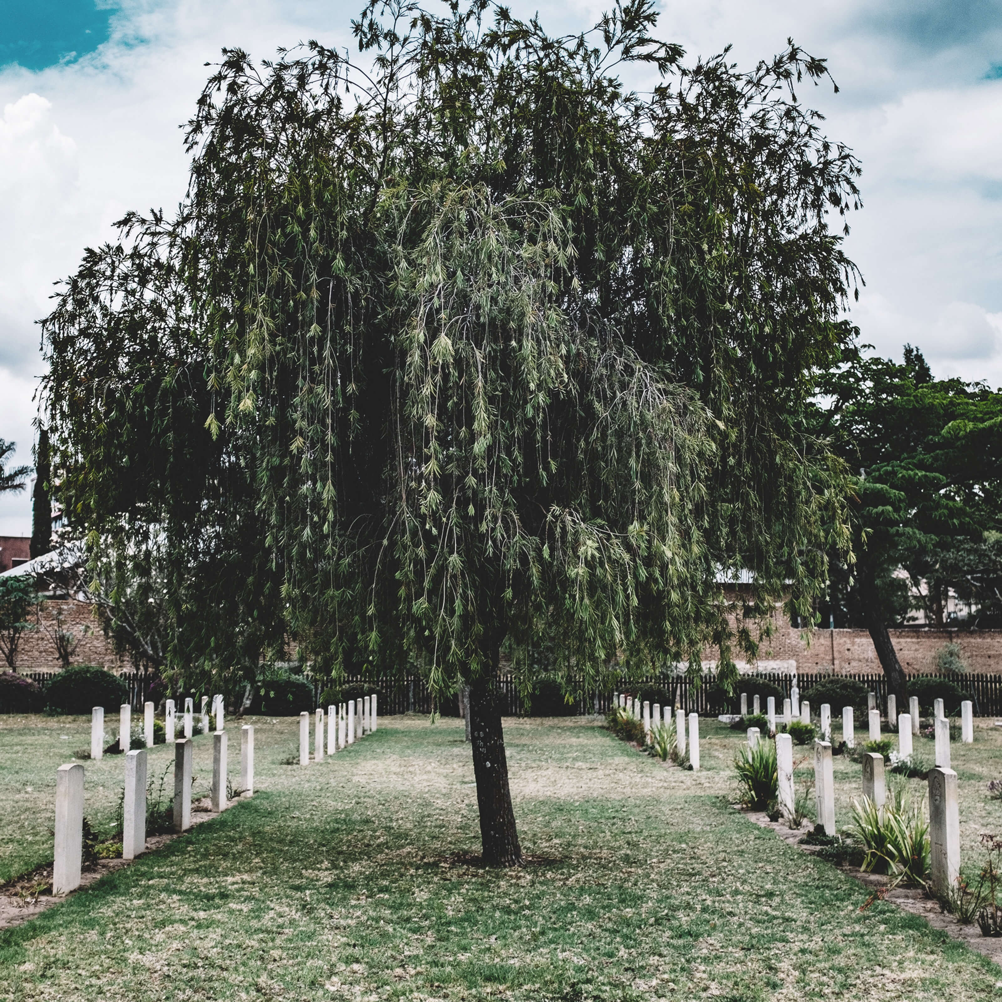 tree between rows of gravestones
