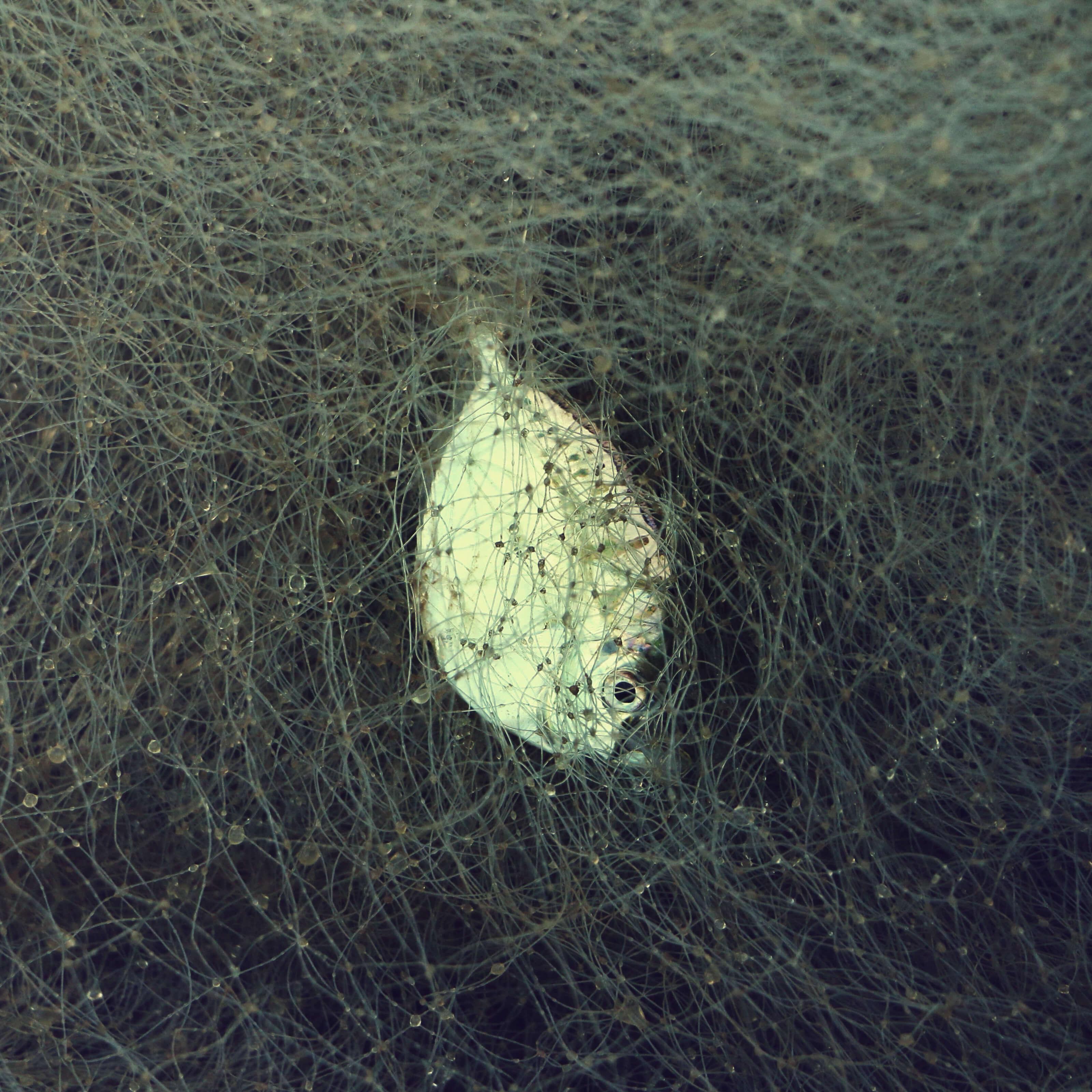 dead fish floating in water, net