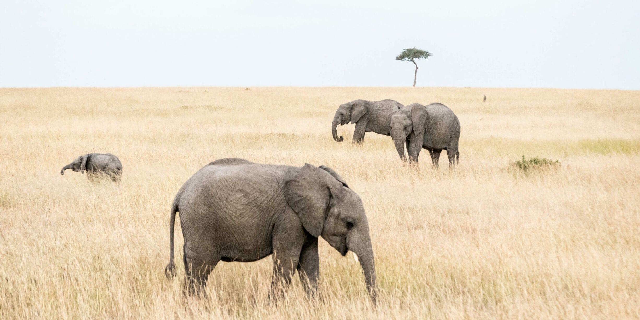 three elephants in savanna