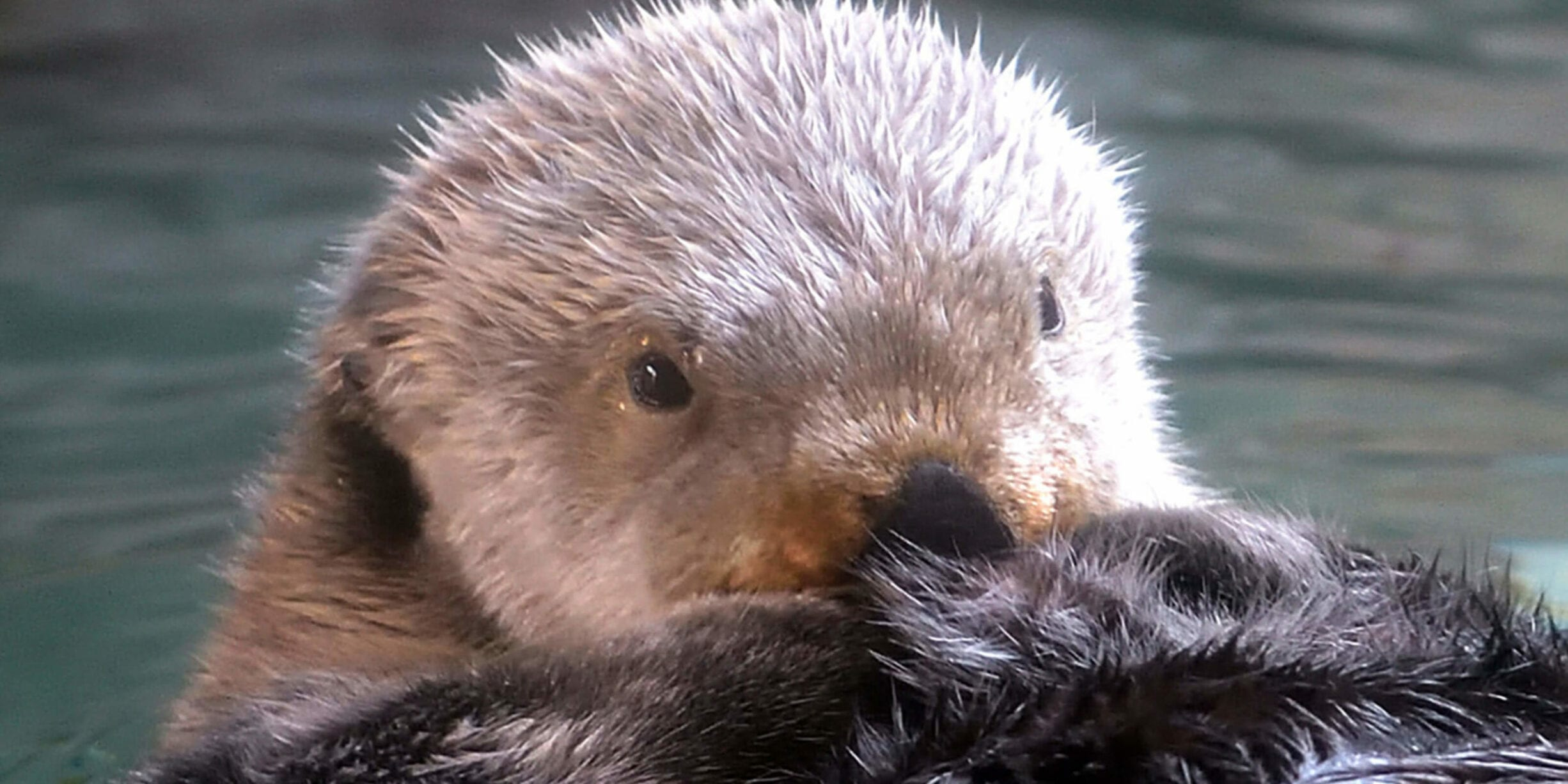 Otter close up in water