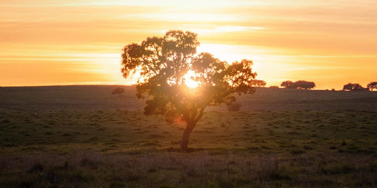 tree in field during sunset