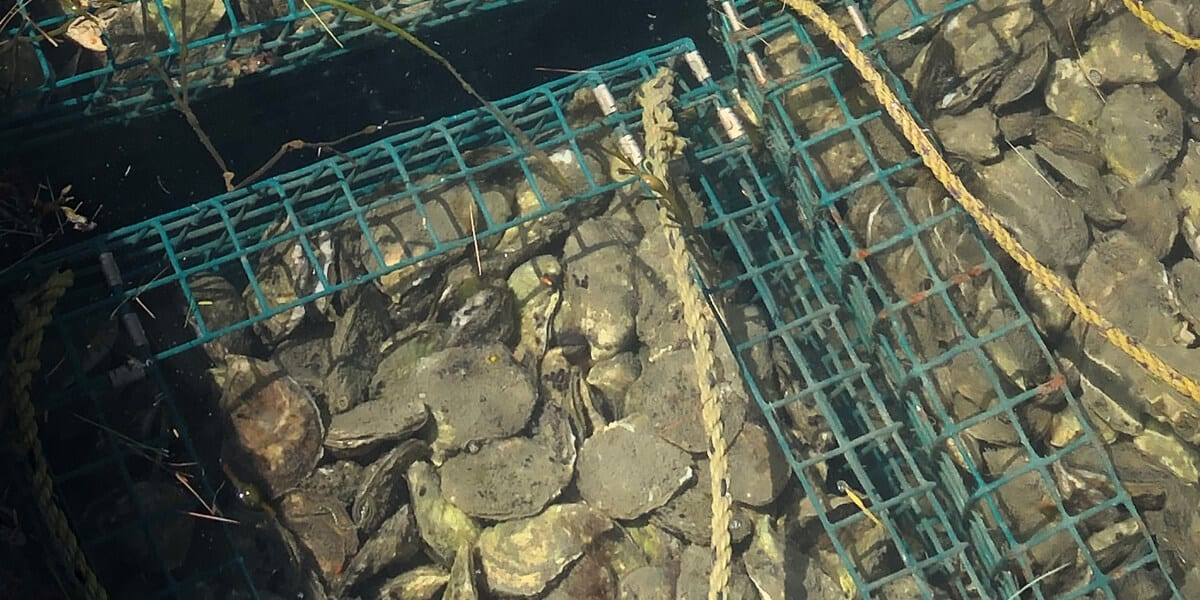 oysters in cages
