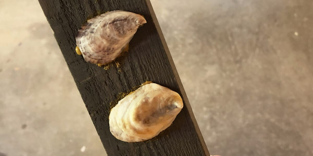 oysters on a wooden plank