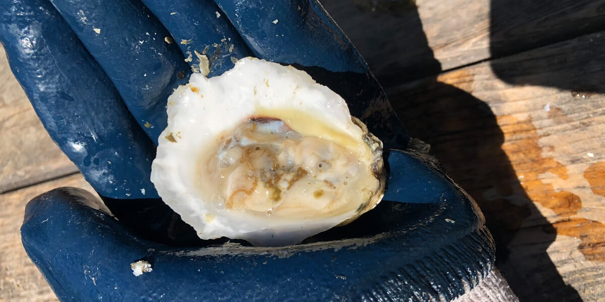 blue glove holding an open oyster