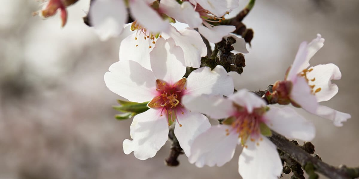 flowers on branch of a blossoming almond tree