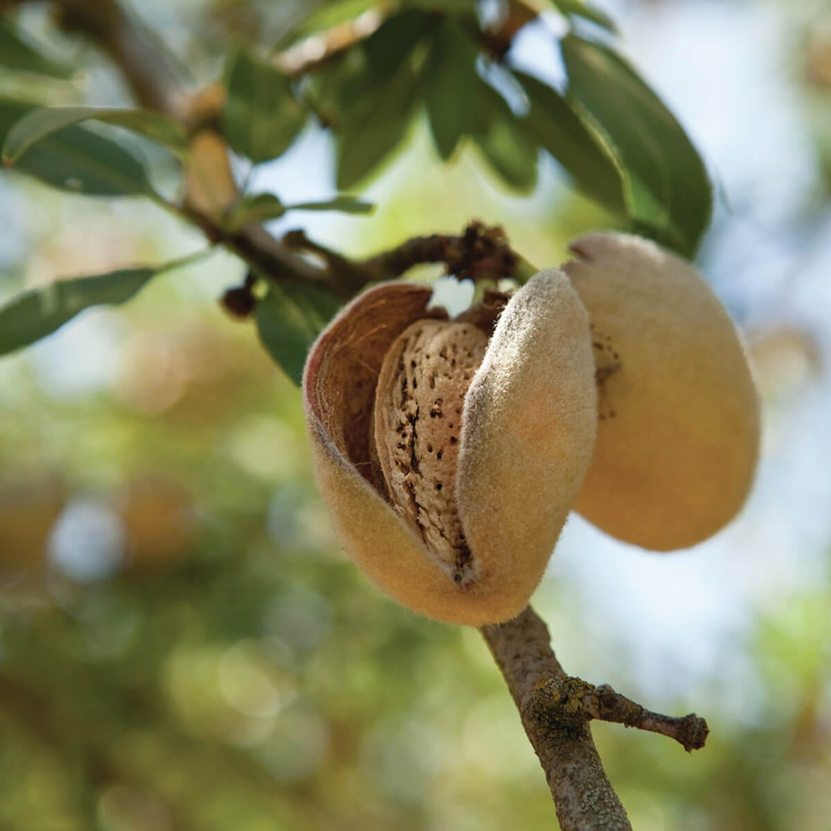 How Do Almonds Grow? Learn to Plant and Harvest an Almond Tree