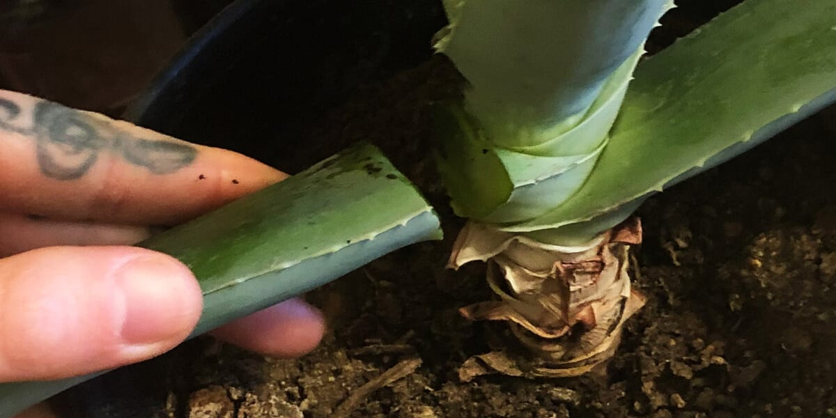 hand snapping aloe leaf off of aloe vera plant