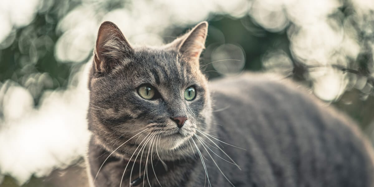 gray and beige cat with green eyes
