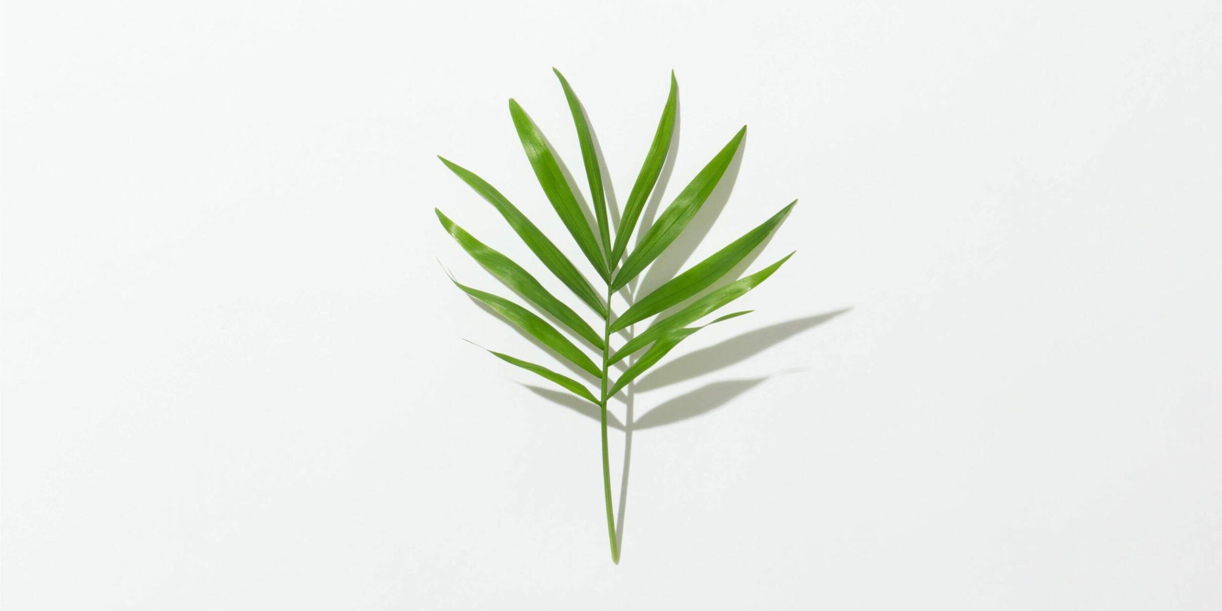 tea tree leaf