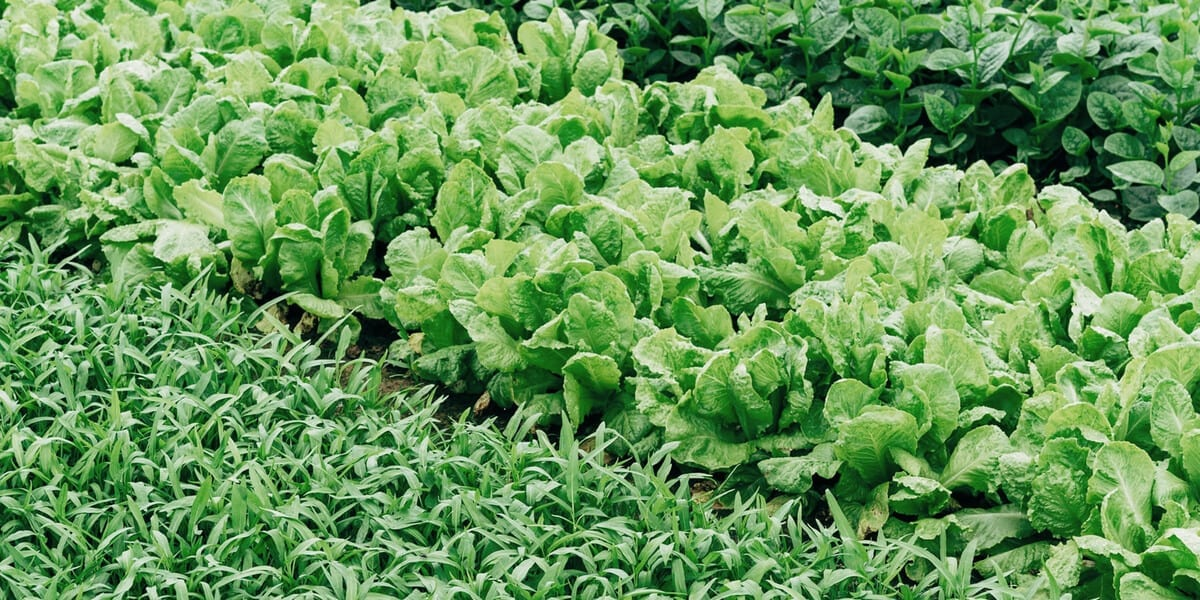 rows of green vegetables and herbs growing in a field