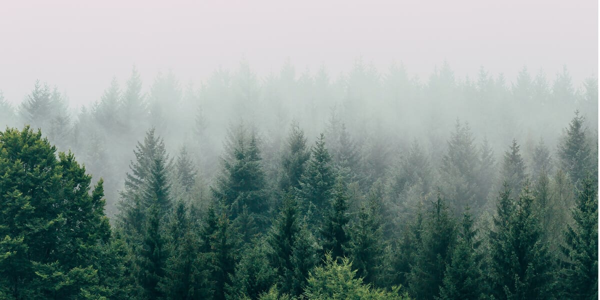 mist over the top of trees in a forest