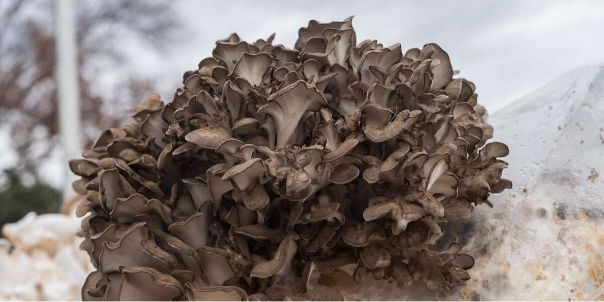 a large batch of maitake mushrooms growing outdoors