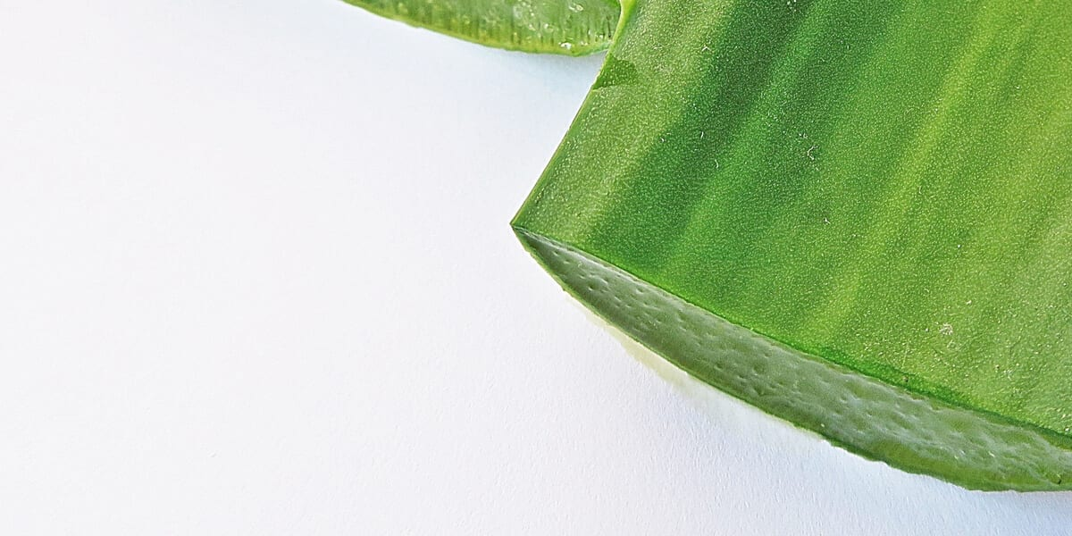 cut aloe vera leaves filled with fresh aloe vera gel