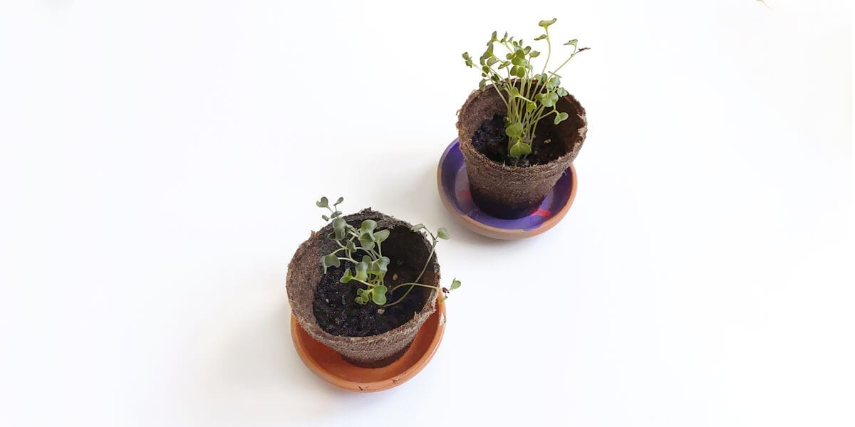 two grown plants in pots