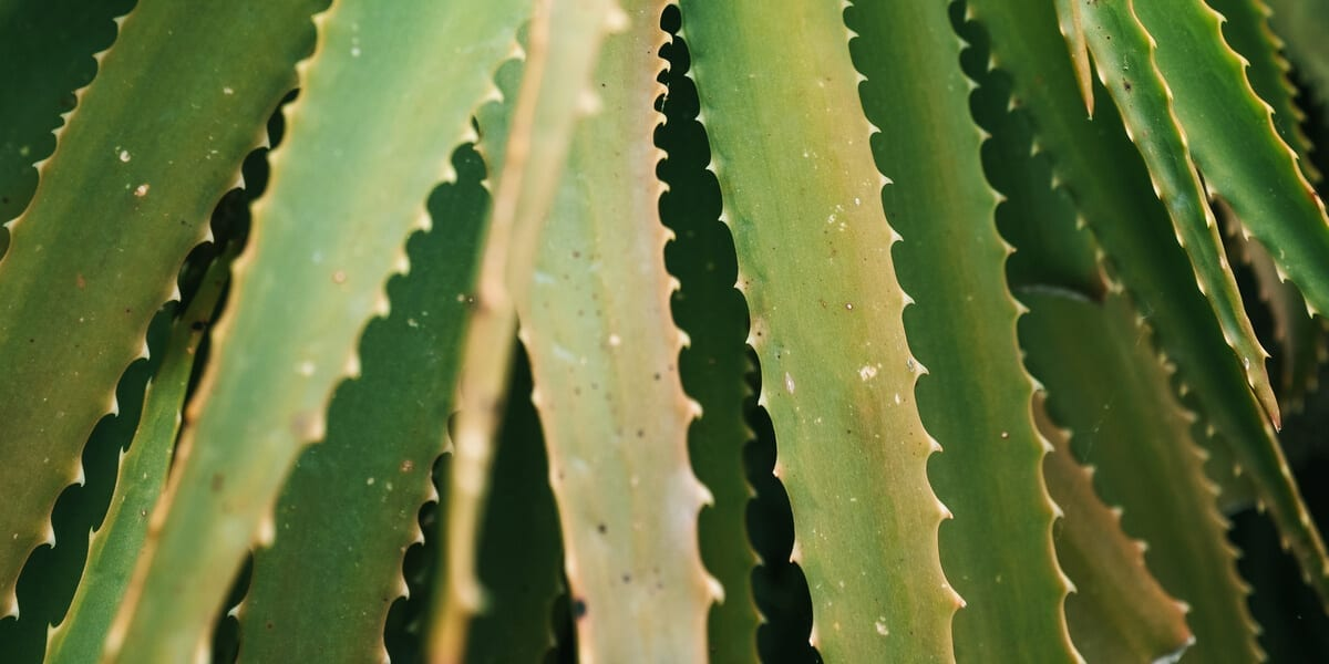 Is Aloe Vera Edible How To Eat And Benefit From This Plant Public Goods Blog
