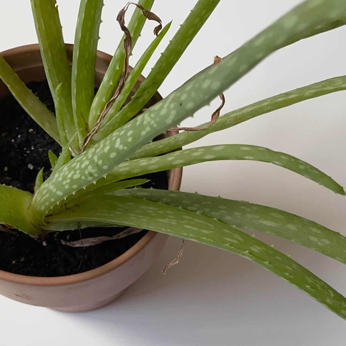 aloe vera plant growing in soil, planting pot