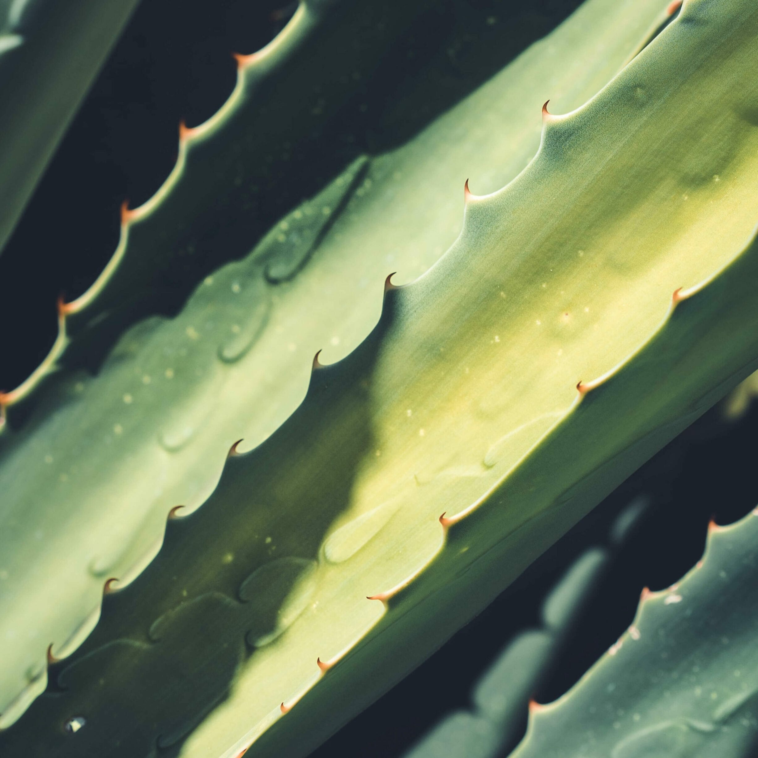 Is Aloe Vera Edible? How to Eat and Benefit From This Plant