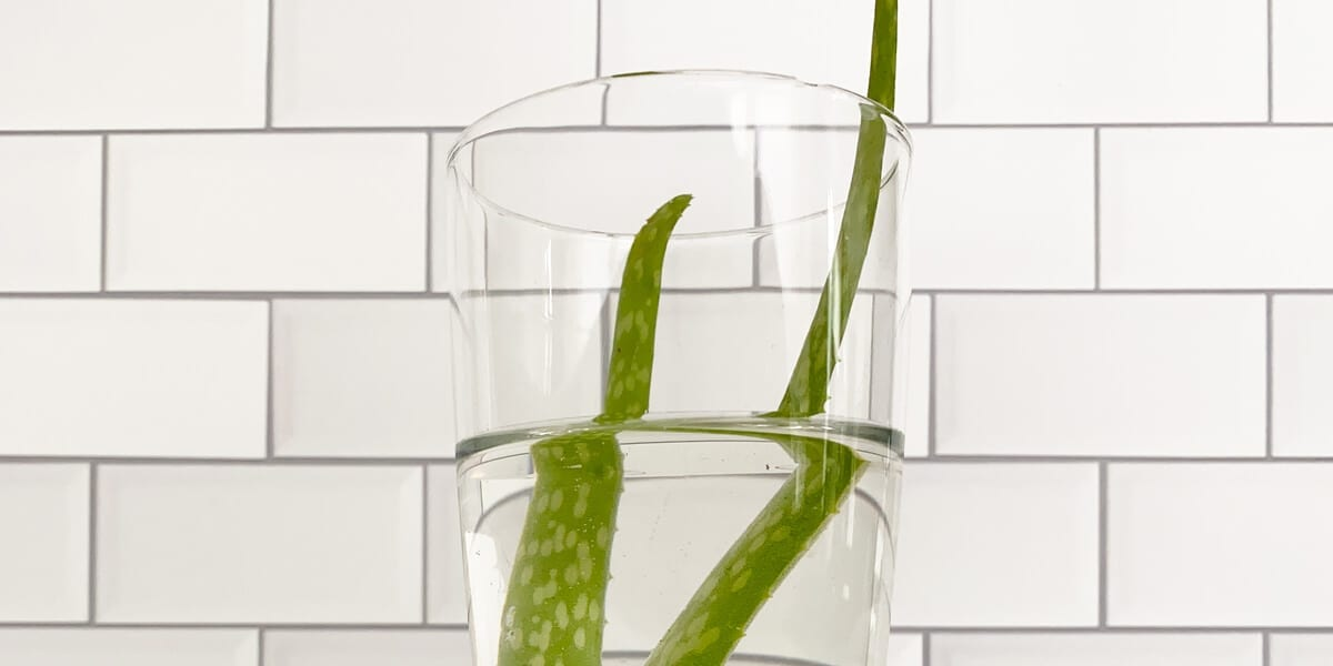 two aloe vera leaves in a glass of water