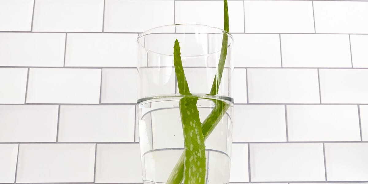 two aloe vera leaves in a tall glass of water