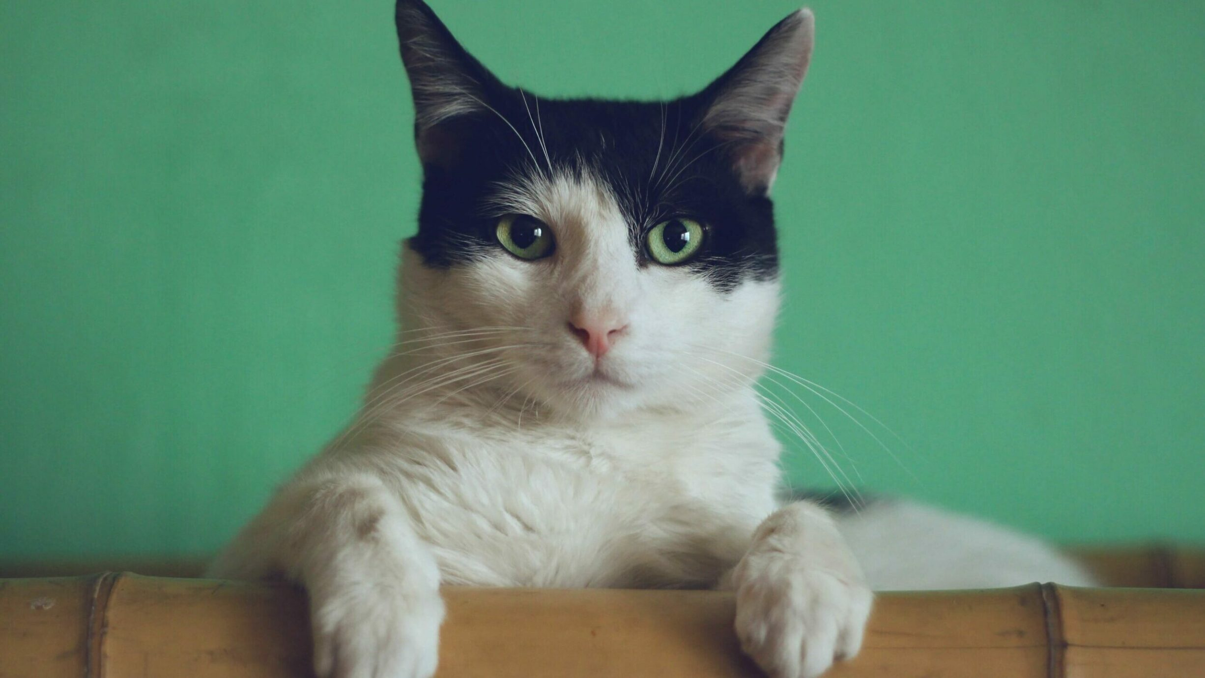 black and white cat with green eyes gazing at camera