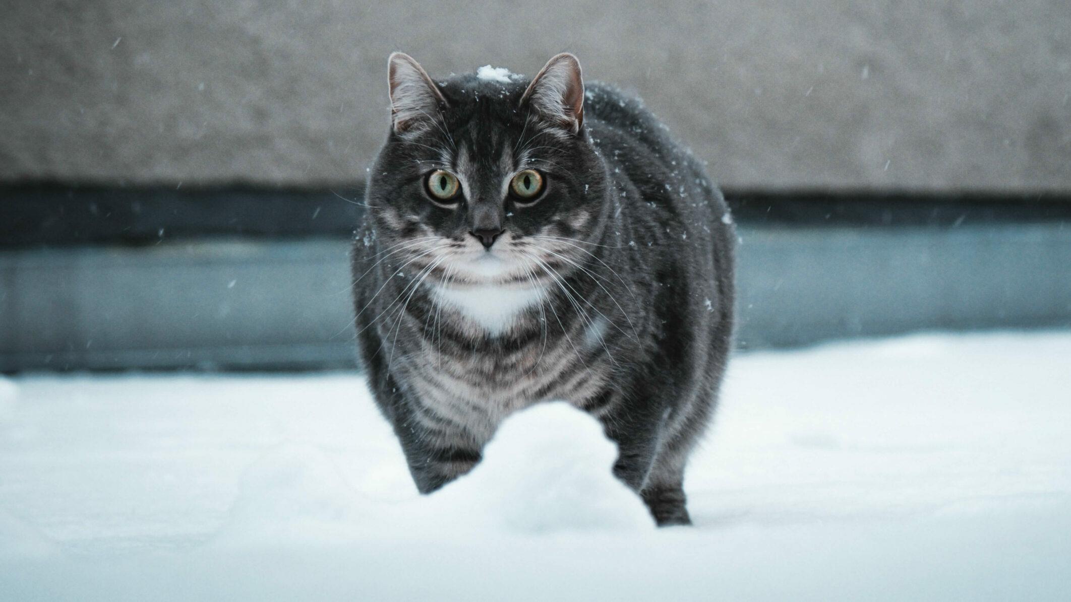 fat cat in the snow
