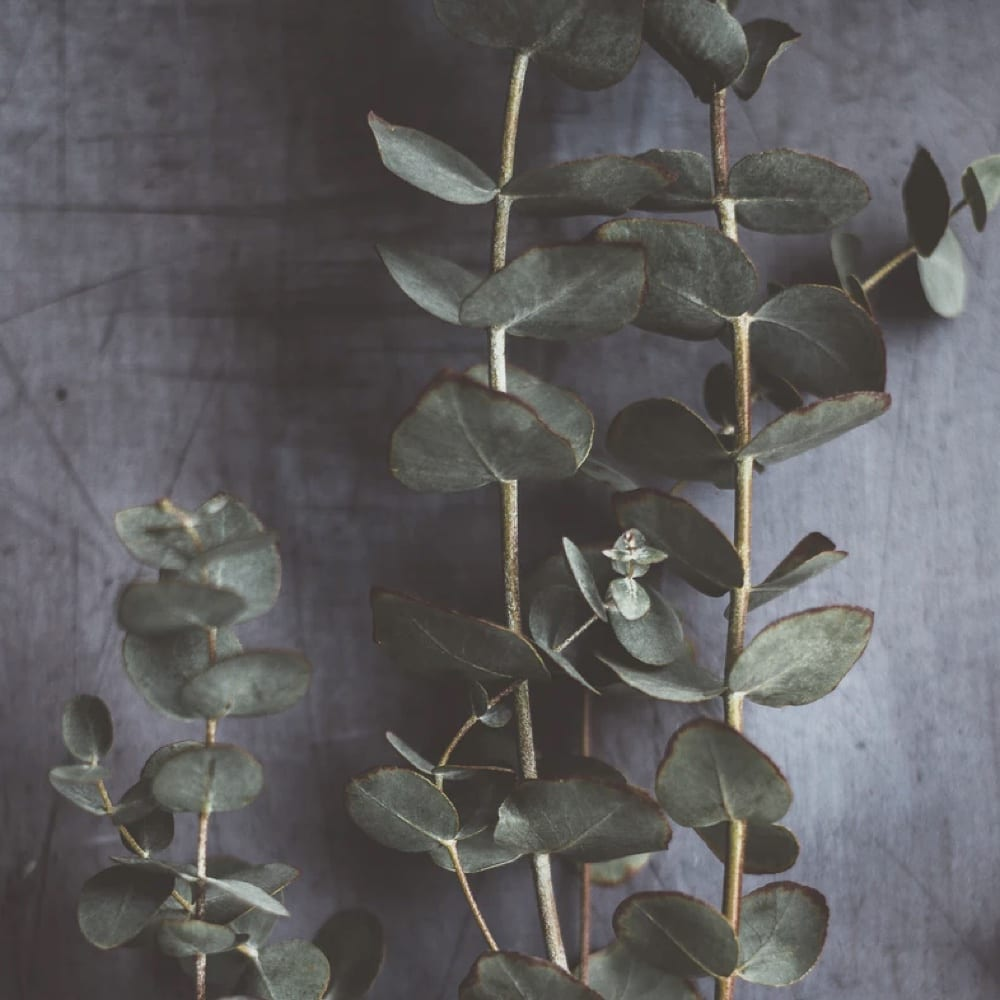 Eucalyptus Essential Oil: Health Benefits And Best Uses