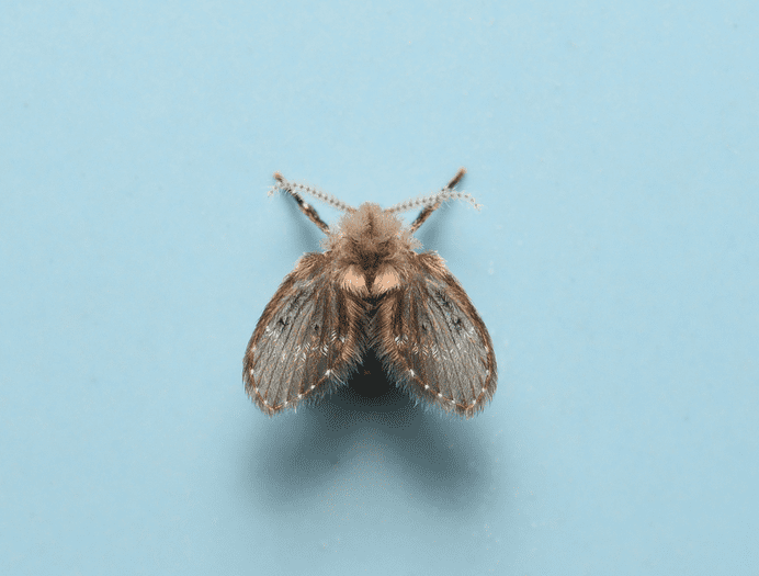 Picture of a drain fly